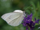 Schmetterling_27